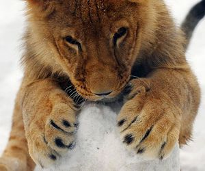 lion, snow, and animal image