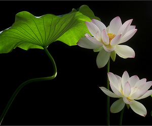 beautiful, green leaves, and lotus flower image