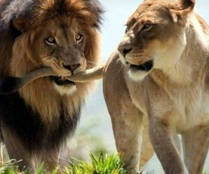 animals, lion, and love image