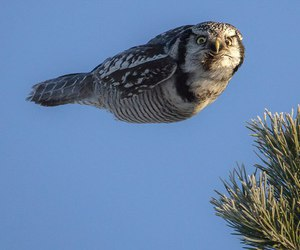 animals, nature, and hawk owl image