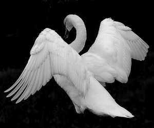 animal, nature, and Swan image