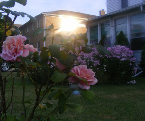 pink, plants, and rose image
