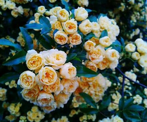 flower, yellow, and rose image