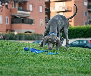 weimaraner, hond, and beautiful image