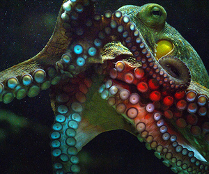 octopus, animal, and ocean image
