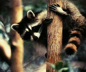animali, animals, and raccoon image