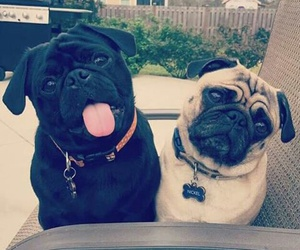 dogs, pugs, and swag image