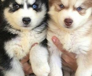 adorable, animal, and husky image