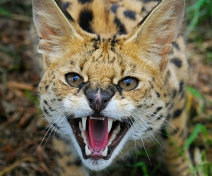 gato, animal, and serval image