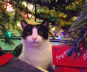 cat, furry, and holiday image