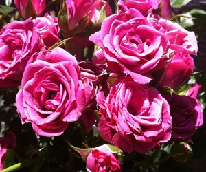 beauty, pink, and flowe image