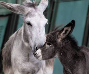 baby animals, cute animals, and donkey image