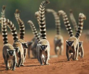 animals, lemur, and life image
