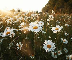 daisies, flowers, and sunshine image