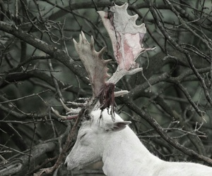 albino, antlers, and white reindeer image