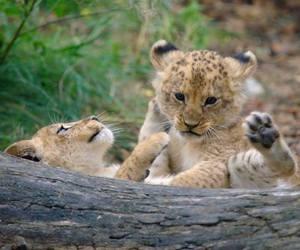 cub, lion, and animal image