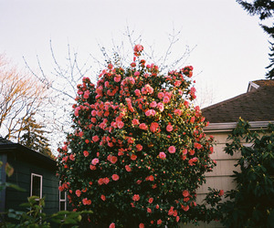 nature and rose image