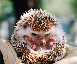 hedgehog, cute, and animal image