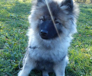 puppy, sweet, and keeshond image