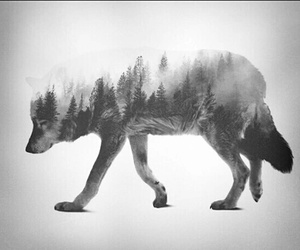 wolf, black, and forest image