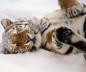 animal, snow, and tiger image