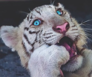 tiger, animals, and blue image