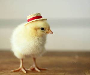 cute, animal, and Chick image
