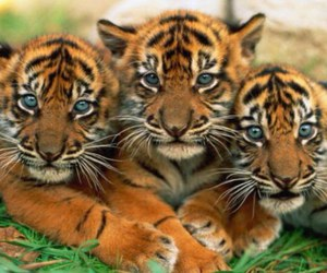 cute, tiger, and tigers image