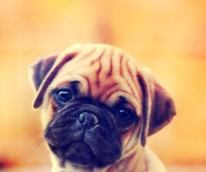 dog, pug, and animal image