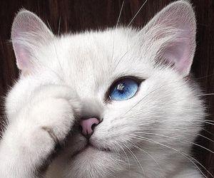 cat, white, and blue eyes image