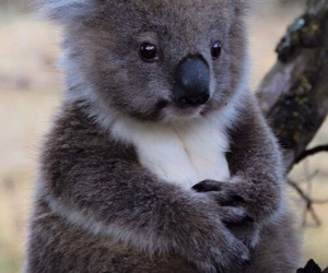 Koala, animal, and cute image