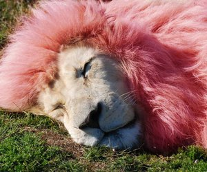 lion, cute, and pink image