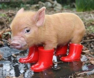 mini pig, 🐷, and 💕 image
