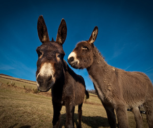 animal, donkey, and france image
