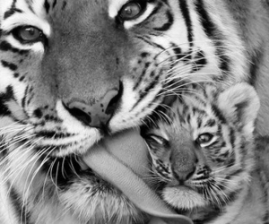 baby and tigre image