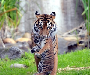 animals and tigers image