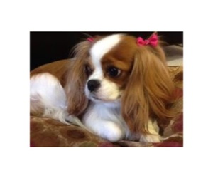 cute, dog, and cavalier king charles spaniel image