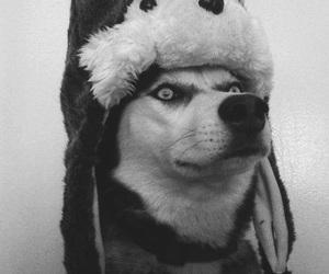 dog, husky, and funny image