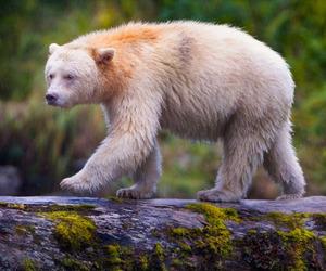 تفسير رؤية دب في الحلم الدب في المنام لإبن سيرين