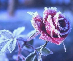 rose, winter, and snow image