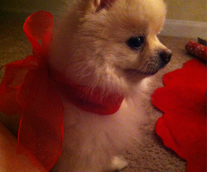 christmas, gifts, and pomeranian image