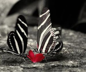 butterfly, red, and black and white image