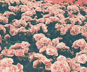 flowers, pink roses, and pink image