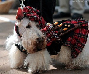 adorable, Bagpipes, and canine image