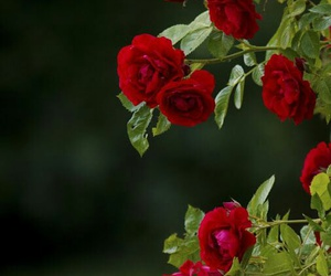 garden, nature, and red flowers image