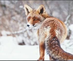 animali, animals, and fox image