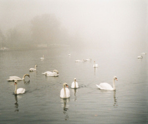 Swan, lake, and bird image