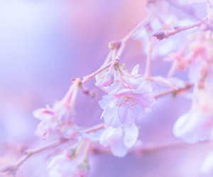 cherry blossom, flower, and flowers image