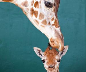 giraffe, animal, and sweet image