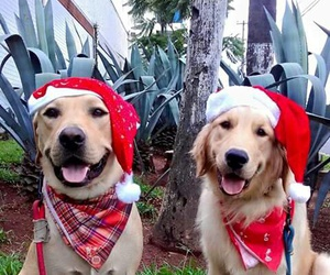 dogs, golden retriever, and merry christmas image